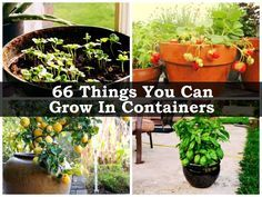 66 Things You Can Grow In Containers   No garden? No problem!   This is a fantastic look at what you can grow in containers from Wheat grass to Strawberries.  grow your own stunning flowers, plants, fruits and vegetables ,Maybe you'll find the inspiration to create your own personalized kitchen garden in tubs.