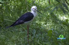 Black winged stilt - Himantopus - Cavaliere d Italia - #birdwatching