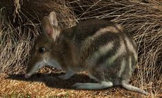 The mainland subspecies of Eastern Barred Bandicoot, Perameles gunnii, is now considered extinct in the wild. They are listed as endangered federally.