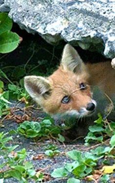 Wild Animals, Farm Animals, Cute Animals, Beautiful Creatures, Animals Beautiful, Animal Pictures, Cute Pictures, Domestic Cat, Red Fox