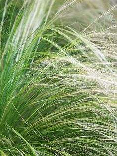 Mexican Feathergrass looks terrific planted in containers or scattered on a meadow or slope. Mexican feathergrassr is a good choice for erosion control.