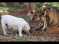I was trying to pin this cute fox video, but somehow it got lost in the hypernet. Hope this one is better....Tiger and Dog Are Best Friends!