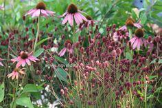 Sanguisorba officinalis 'Tanna', Echinacea purpurea