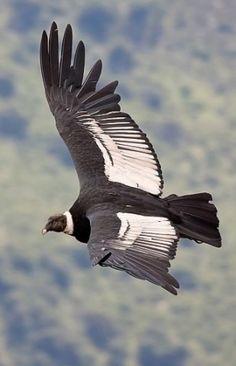 Condor Andino / Ave Patagónica / Argentina.