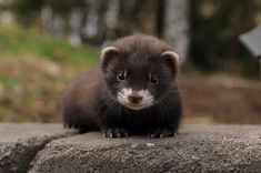 Funny and cute ferrets playing video compilation Ferrets Care, Baby Ferrets, Pet Ferret, Cute Ferrets, Cute Baby Animals, Animals And Pets, Mink Animal, Animal Of Scotland, Baby Animals
