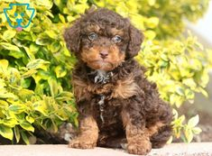You can get a new puppy today by viewing our adorable newborn puppies of many different breeds! Find a new furry friend that's perfect for you and your family! Toy Puppies For Sale, Toy Poodles For Sale, Toy Poodle Puppies, Cute Baby Puppies, Newborn Puppies, Baby Dogs, Cute Dogs, Doggies, Phantom Poodle