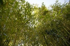 Yellow Groove Bamboo (Phyllostachys Aureosulcata) in the Garden. Did you know that the Missouri Botanical Garden will donate bamboo to the St. Louis Zoo?