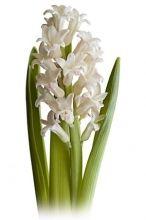 White Hyacinth, #Hyacinth