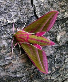 Elephant Hawk Moth - Found one of these in my garden once. Cool guy, we got a nature book to find what it was. Cool Insects, Bugs And Insects, Flying Insects, Beautiful Bugs, Beautiful Butterflies, Beautiful Creatures, Animals Beautiful, Mantis Religiosa, Cool Bugs