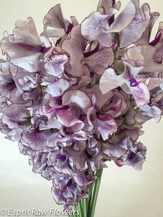Japanese Sweet Pea bi-color white purple2 Lavender Flowers, Cut Flowers, Japanese Sweet, Amethyst, Texture, Crystals, Purple, Floral, Crafts