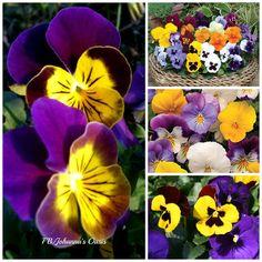 Pansies I love :)