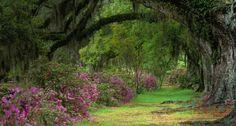 Stately live oaks in Magnolia Plantation and Gardens, Charleston, S.C. -- Adam Jones/Visuals Unlimited, Inc.