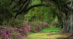 Stately live oaks in Magnolia Plantation and Gardens, Charleston, S.C. -- Adam Jones/Visuals Unlimited, Inc.