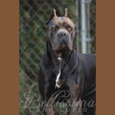 Cane Corso Puppies, Available Cane Corsos   Bellissima Cane Corsos - Cane Corso Breeder Tennessee