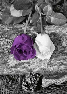M/M 4 - 'there's a purple one too!' Black White Purple Wall Art/ Rose Flowers/ by LittlePiePhotoArt Purple Love, All Things Purple, Purple Rain, Shades Of Purple, Purple Wall Art, Purple Walls, Amazing Flowers, Beautiful Roses, Color Splash