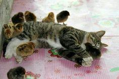 Cat with chicken buddies