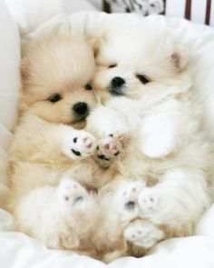 Read more about teacup puppies for sale. Check the webpage for more info. Looking at our website is time well spent. Cute Dogs And Puppies, Baby Dogs, Pet Dogs, Doggies, Super Cute Animals, Cute Little Animals, Animals And Pets, Funny Animals, Cute Pomeranian