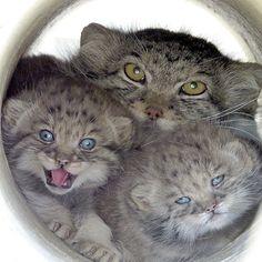 Pallas Cats born March 26, 2013 at the EFBC Feline Conservation Center in Rosamond, CA.