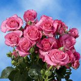 $10 Off On #Hot #Pink #Spray #Roses   #couponcutcodes #wedding #flowers #beautiful #GlobalRosecoupons  http://www.couponcutcodes.com/stores/global-rose/