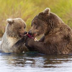 Alaska bears family