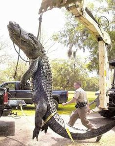 """This alligator was found between Lakeland & Winter Haven FL. Neighbors could hear the beast bellowing in the night. Joe Goff, a 6'5"""" tall game warden, shown below, walks past the 28-foot, 1-inch long alligator that he helped shoot and kill in a neighbor's back yard."""