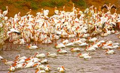 An amazing photograph of Pelicans in Klamath County. These are White American Pelicans, and it looks like it's breeding season as most or all have a noticeable bump on their beaks.