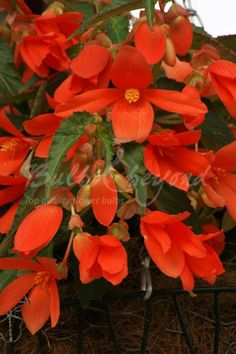 Buy the best quality orange cascade (hanging) Begonia tubers online from Bulbs & beyond! Order cascade begonia bulbs now to create the best hanging baskets. Summer Flowering Bulbs, Perennial Flowering Plants, Perennials, Vivid Colors, Colours, Different Plants, Plant Species, Hanging Baskets, Indoor Plants