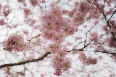 Kirschblüten 8
