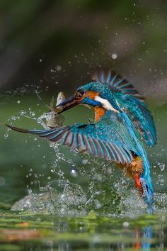 The common kingfisher (Alcedo atthis). This beautiful bird with iridescent blue feathers is distributed across Eurasia and North Africa. Kinds Of Birds, All Birds, Birds Of Prey, Love Birds, Pretty Birds, Beautiful Birds, Animals Beautiful, Exotic Birds, Colorful Birds
