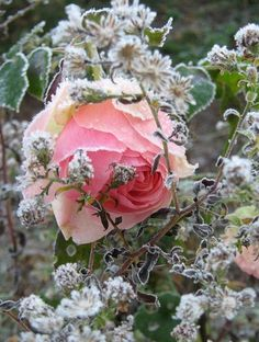rose 'Pierre de Ronsart' joliment enchâssée au milieu des branches d'un aster défleuri