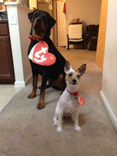 Ty Beanie Babies costume for my real life babies! They were super easy and cost next to nothing! Alvin, the Rottweiler and Roxie, the Parson Russell Terrier!