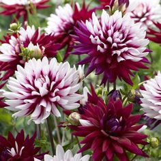 """Dahlia Rebecca's World. Big, 5"""" blooms is a unique composition of white and burgundy-red. The petals are deeply-colored at the base, and some are banded or even completely red."""