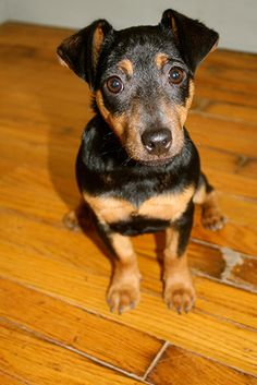 Aislinge Bray - Jack Russell Terrier - Russell Terrier - Black and Tan Jack - puppies for sale