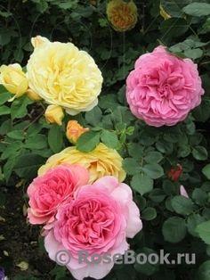 Цветовые сочетания остинок :: Энциклопедия роз
