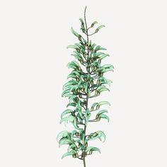 OrderFabales FamilyFabaceae Commonjade vine BotanicalStrongylodon macrobotrys