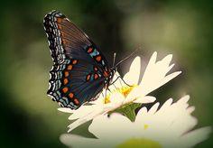 Butterfly in Contrast