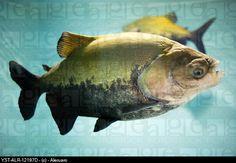 Amazon fish, Tambaqui, still swimming