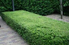 5 alternatieven voor buxus | Tuinplantencentrum De Pauw
