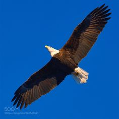 King of the skies! (ツ Jesse Sacdalan / Bellingham, WA / Uploaded pic Jan 2017 Never used it in Bald Eagle, Cool Photos, King, Sky, Nikon, Nature, Photography, Animals, Heaven