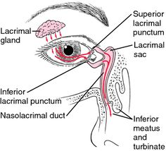 Lacrimal Gland Anatomy - Health, Medicine and Anatomy Reference Pictures