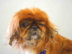 SAFE 10-19-2015 --- SUPER URGENT Manhattan Center DONKEY – A1054933  UNKNOWN GENDER, BROWN / WHITE, PEKINGESE MIX, 10 yrs STRAY – STRAY WAIT, HOLD FOR ID Reason STRAY Intake condition EXAM REQ Intake Date 10/15/2015