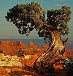 Old tree looking over the Grand Canyon