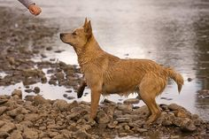 red heeler pictures | ... Cattle Dog Photo Gallery – Pictures Of Australian Cattle Dogs