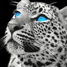 white cheetah - Google Search