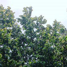 葉桜 #landscape