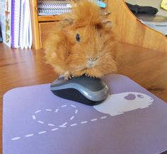 It's not a mousemat, it's a guineapigmat!! Daisy models our new range available at www.popcornprints.co.uk