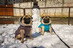 WOW Mr. Snowman we never thought that we'll play together in late March ☃❄ We hope we won't see each other soon  #mauricethepug #bubblethepug #bubble #queenb #snowman #snow #march #spring #weekend #puglife #pugchat #pugstory #romania #tirgumures #pug #mops #dog #puppy