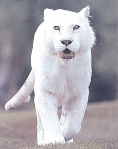 White Panther | Twitsnaps Zoom :: The albino panther...