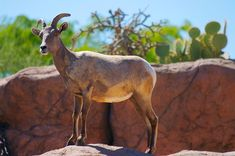 Bighorn sheep found in the high mountain of arizona http://tanqueverderanch.com/