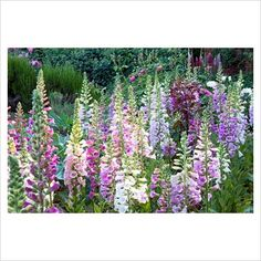 Foxgloves -- Full sun to partial shade -- Blooms late spring of early sumer